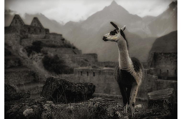 """Artwork """"Llama, The Industrial Zone, Machu Picchu"""" by Fred Sigman"""